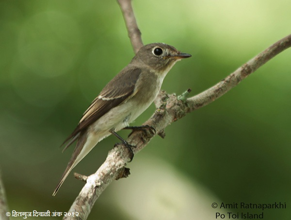 AsiaBrownFlycatcher.jpg