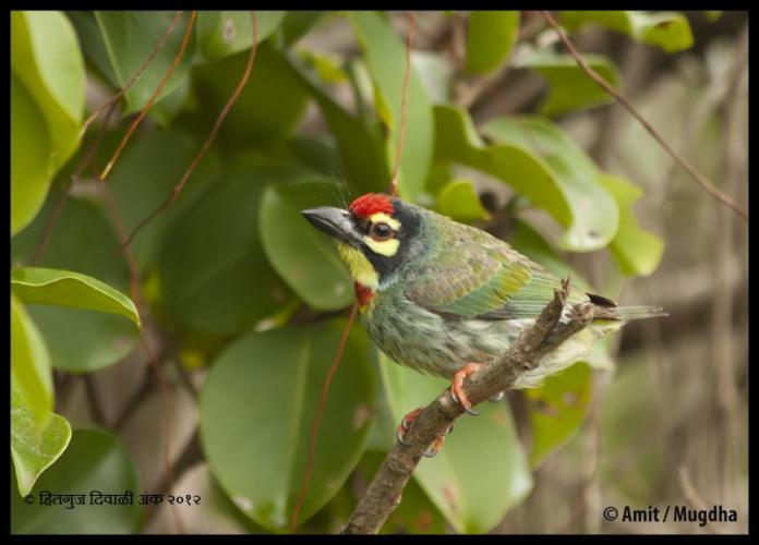 CopperSmithBarbet.jpg